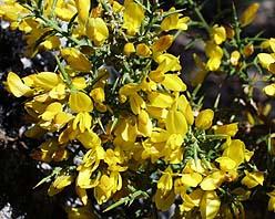 otros nombres aulaga gatosa aliaga morisca tojo famlia leguminosas descripccin arbusto muy espinoso que puede llegar a alcanzar una altura mxima